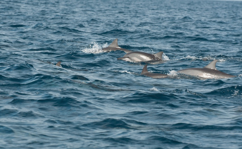 dolphins by Fred Barrington