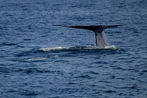 Pygmy blue whale fluke or tail in Sri Lanka © Gary Baxter 2014