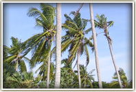 coconut trees in thailand