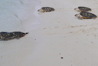turtles on ko talu